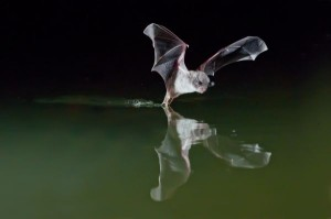 murcielago-valencia