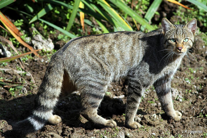 gato_montes