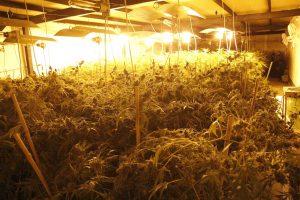 plantación marihuana 442 plantas oreitiasolo