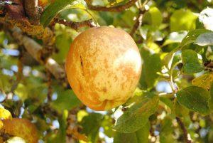 manzana-pera