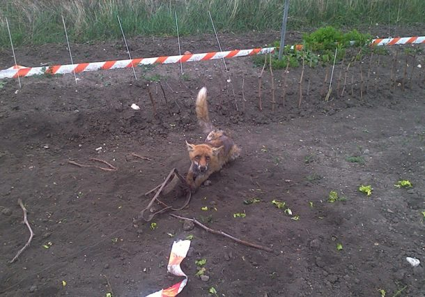 Un zorro muere por un cepo ilegal instalado en una huerta de Vitoria-Gasteiz