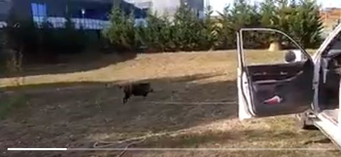 VÍDEO: Guardas forales rescatan a dos jabalíes en una balsa
