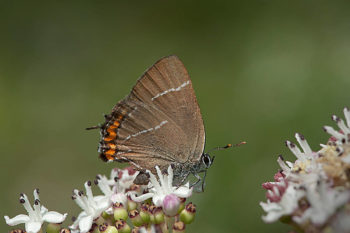 mariposa w-blanca