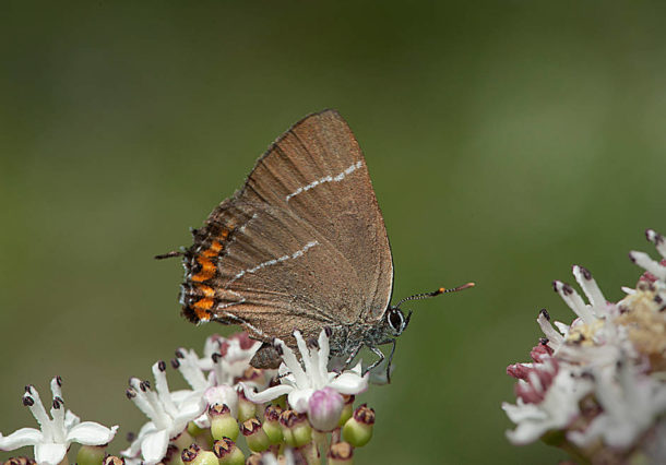 Únete a la plantación de olmos en Valderejo y ayuda a la mariposa W-Blanca