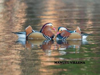 El pato mandarín llega a Vitoria-Gasteiz