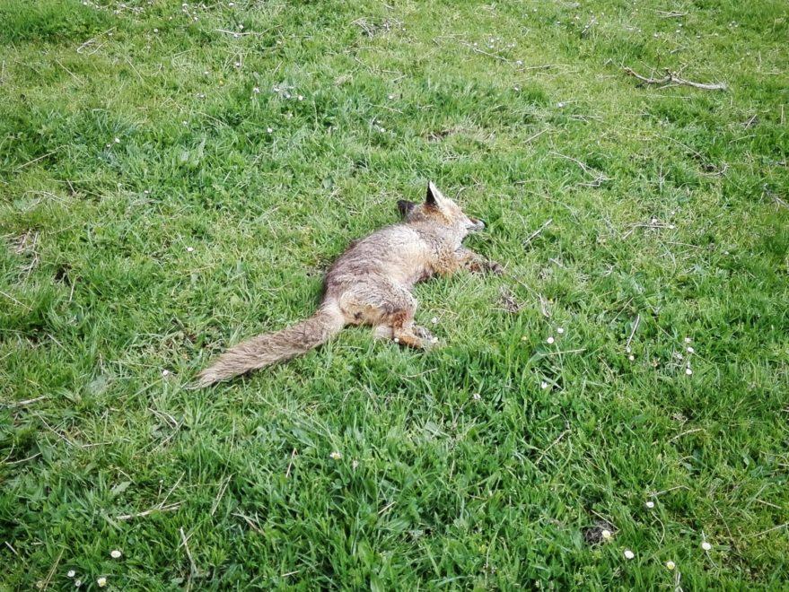 Foto enviada por Gaden. zorro muerto en zigoitia