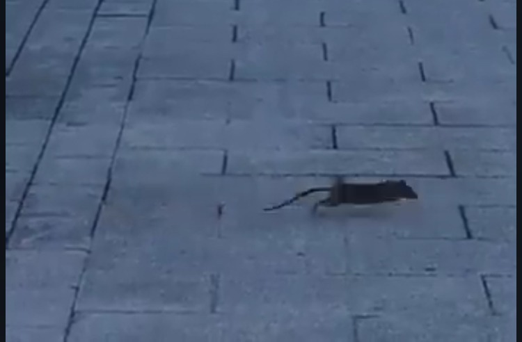 VÍDEO: plaga de ratas en Salburua
