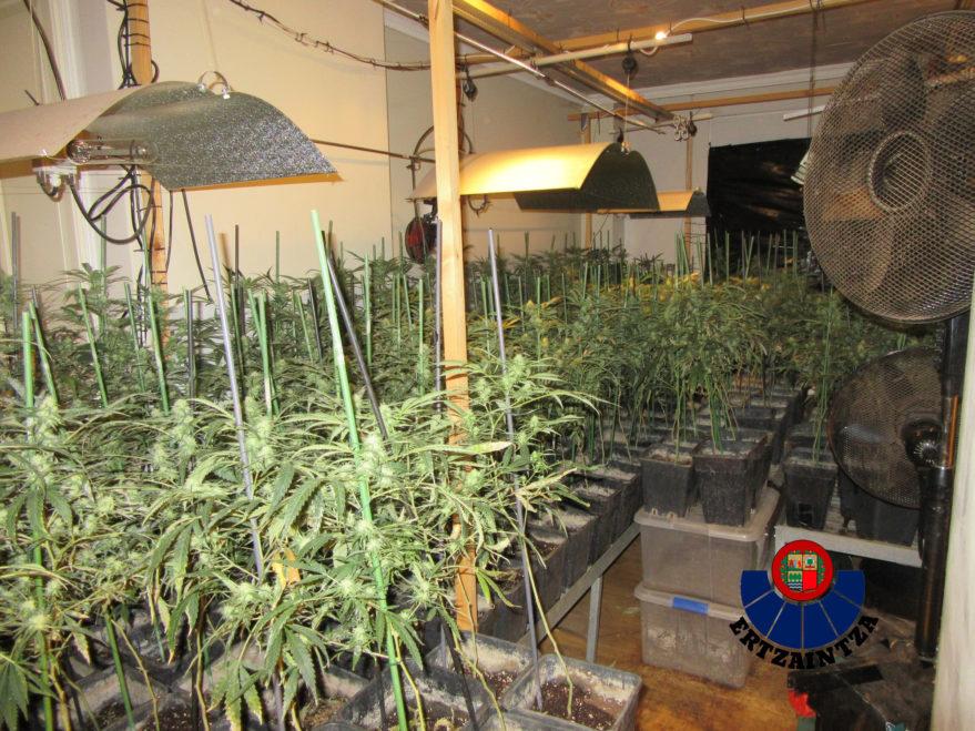 cultivo marihuana zigoitia