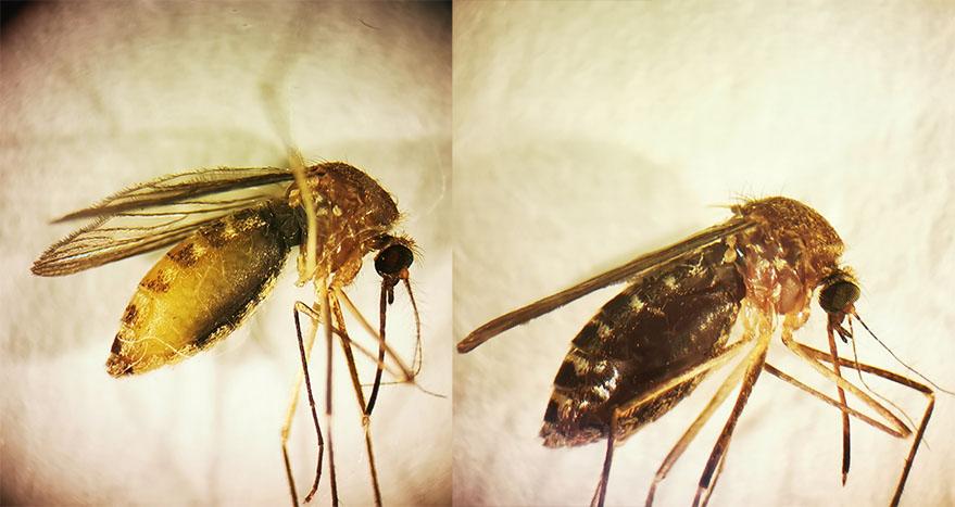 mosquito vitoria