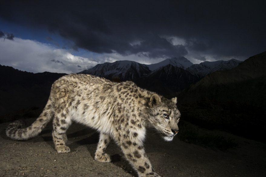 El leopardo de las nieves, Parque Nacional de Hemis, India (Asia)