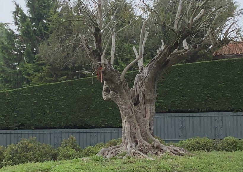 olivo ariznabarra