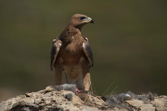 Aguila-Bonelli-alava